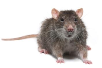 rat rodent pest