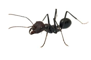black ant